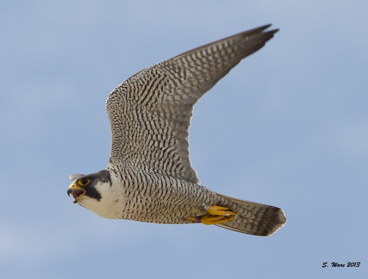 Adult male peregrine in flight. Image: Stephanie Ware